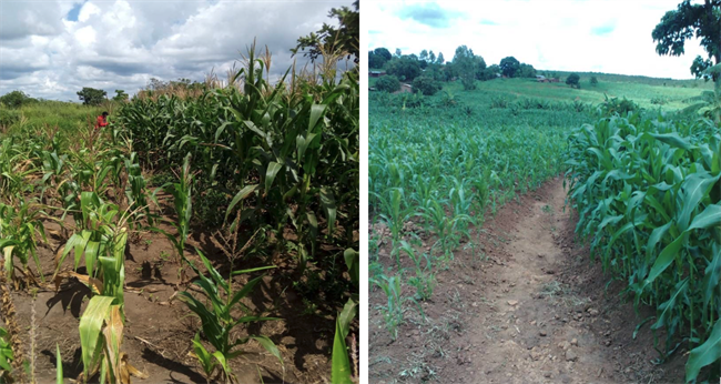Traditional maize farming methods comapared to to crops grown with our Deep Bed methods